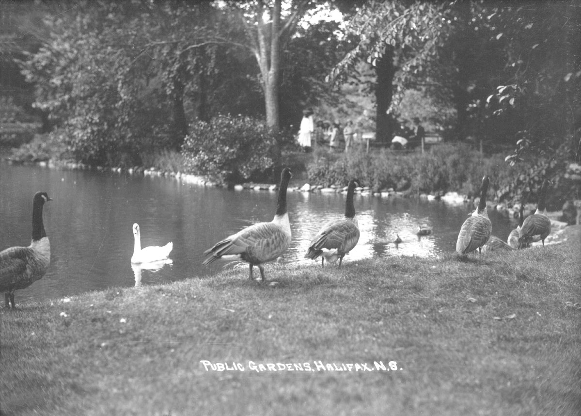 macaskill : Swans and pond, Public Gardens, Halifax, NS